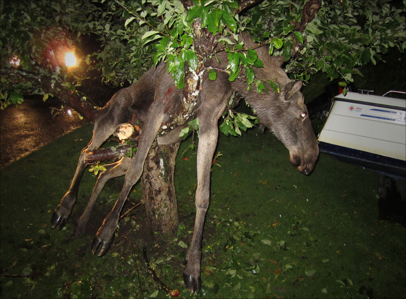 SKOGENS KONGLE: Denne elgen bli litt vel ivrig da han var sulten på epler. Foto: Gustav Johansson